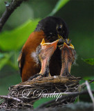 Baby Robins 4th Day, 2