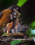 Baby Robins 5th Day 1