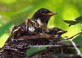 Baby Robins 6th Day, Everybody Contented