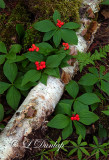 222 - Canadian Dogwood; Red Bunchberries - Shade