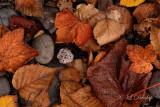50 - Tettegouche Beach, Fallen Autumn Leaves