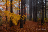 Red Pines And Golden Maple, In Autumn Fog