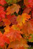 Fall Maple Colors