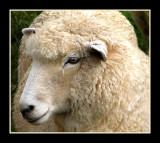 Portrait of a Sheep.