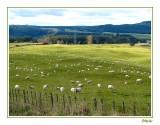 More sheep than people.
