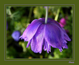 Flower in Purple.