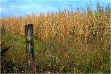 Sweetcorn fields Taranaki.