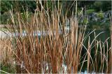 Waterhole grasses 3.