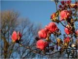 Magnolias Christchurch.