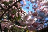 Spring Blossoms Christchurch.