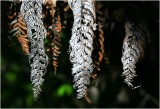 Dying ferns, Albany