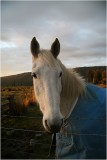 White horse in the late afternoon light.jpg