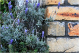 Lavender on Ponsonby