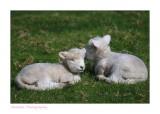 Shakesperian Sheep.