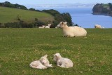 Sheepish views.