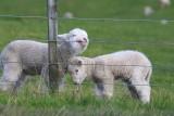 Lambs at Shakespear.