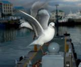Gull series