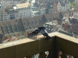 Pigeon Love on the Roof (4/13)
