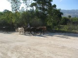 cows going to market