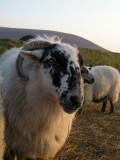 Bailey's Blackface Ewe