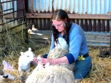 More sheep pedicure