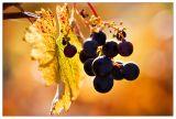 Backlit grapes along Toakim Bridge Rd in Healdsburg, Sonoma County