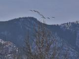 Ducks along the Ridge