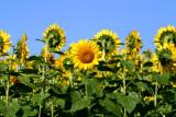 Field of sunflowers ...