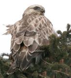 Juvenile light phase Rough-legged Hawk