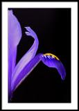 Miniature Iris from my garden