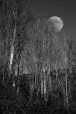 trees moon BW comp