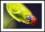 Seven Spot Ladybird...