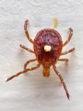 Lone Star Tick, Amblyomma americanum