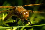 Drowsy dragonfly