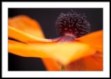 Flamenco poppy?