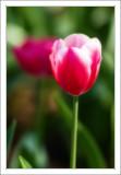 Tulip in Sonoma
