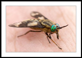 Chrysops relictus - Horsefly