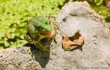 The Happy Amphibian