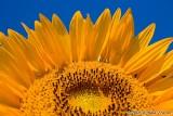 Sunflower Spirit - 2006 UMD Photo Contest Winner - Nature