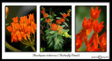 Aesclepias tuberosa(Butterflyweed)May 30