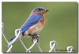 Merle Bleu - Eastern Bluebird
