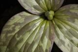 Young Prairie Trillium