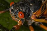 Periodical Cicada Portrait