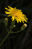 Yellow Hawkweed and Fly