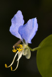 Fly and Dayflower