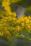Eastern Tailed-Blue and Goldenrod