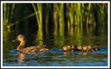 Mallard Hen and Chicks