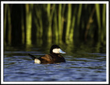 Ruddy Duck in Breeding Plumage