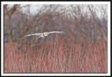 Short-Eared Owl In Flight #2