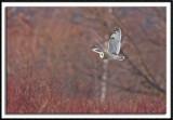 Short-Eared Owl In Flight #1